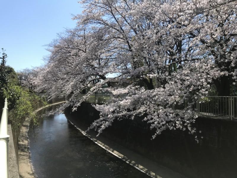 【11:10】「神田川沿いの桜並木」をお散歩