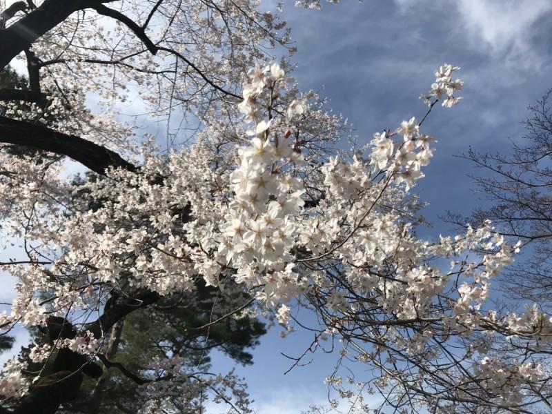 【11:00】「富士森公園」で花見を楽しむ