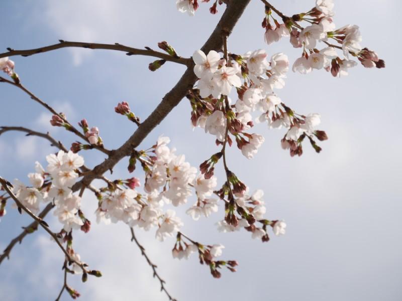 多摩エリアの桜の名所「乞田川」で春を感じるおすすめ行楽コース