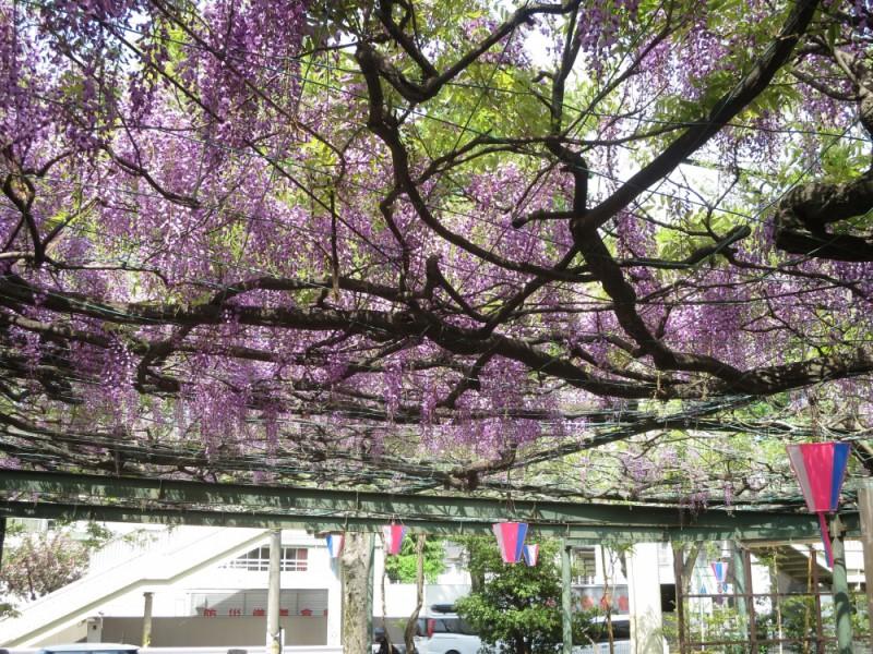 「國領神社」で満開の藤の花を観賞して予約必須の名店「Don Bravo」でピザランチを楽しむ散策コース