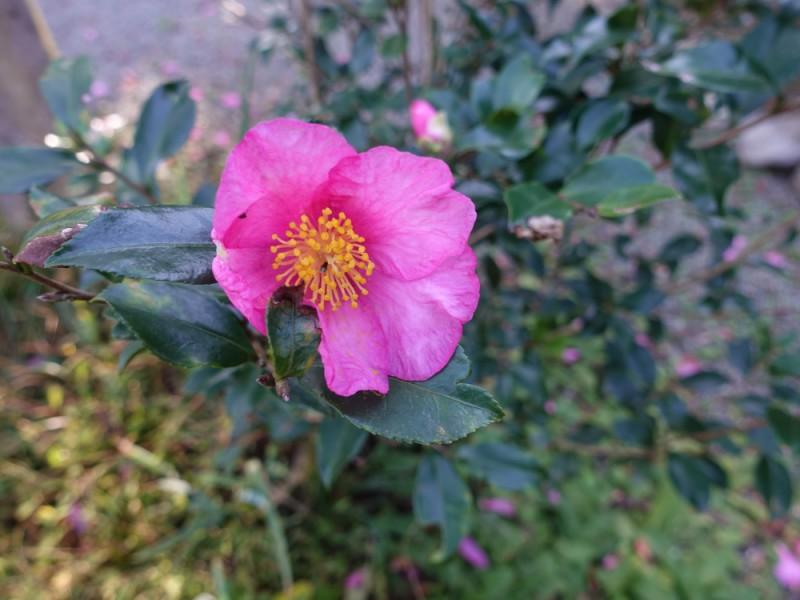 冬も花を楽しめる!京王百草園で12月が見頃の山茶花(サザンカ)を楽しむコース