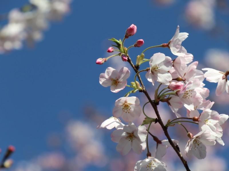 約60種の桜が見られる「神代植物公園」でお花見と深大寺そばグルメを楽しむコース