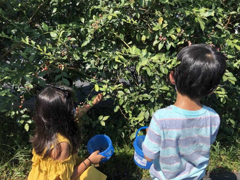 「八幡山駅」で夏の収穫体験!「植松農園」でブルーベリー狩りを楽しみ駅前グルメも堪能する親子おでかけコース