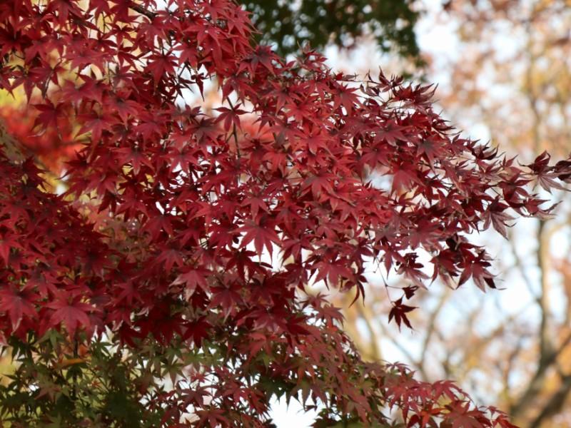 【16:00】「井の頭恩賜公園」を散策。落ち葉遊びと夕暮れ時の紅葉を楽しむ。