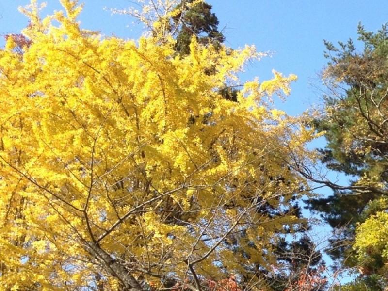 黄金色に染まる銀杏並木を楽しもう!「羽根木公園」で深まる秋を感じる親子おでかけコース