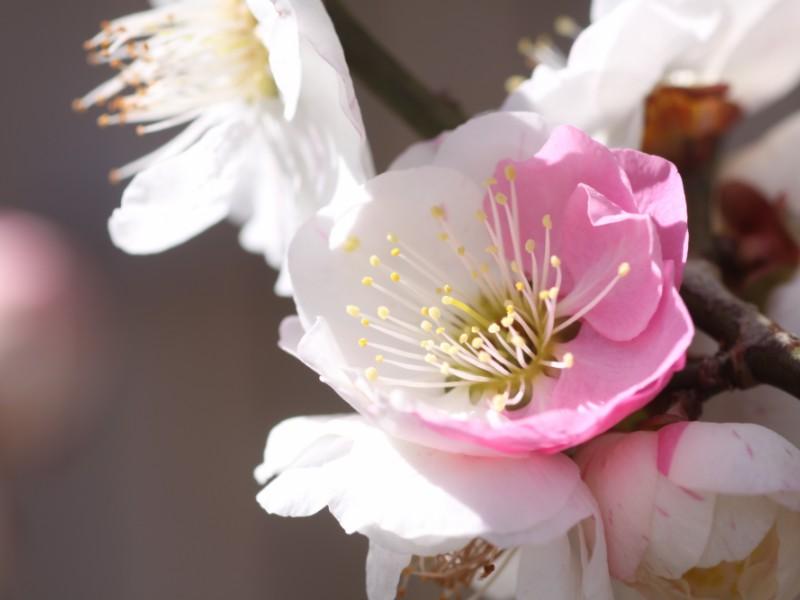 京王百草園「梅まつり」と地元食材にこだわった有機野菜やジェラートを楽しむ春を感じるおでかけコース