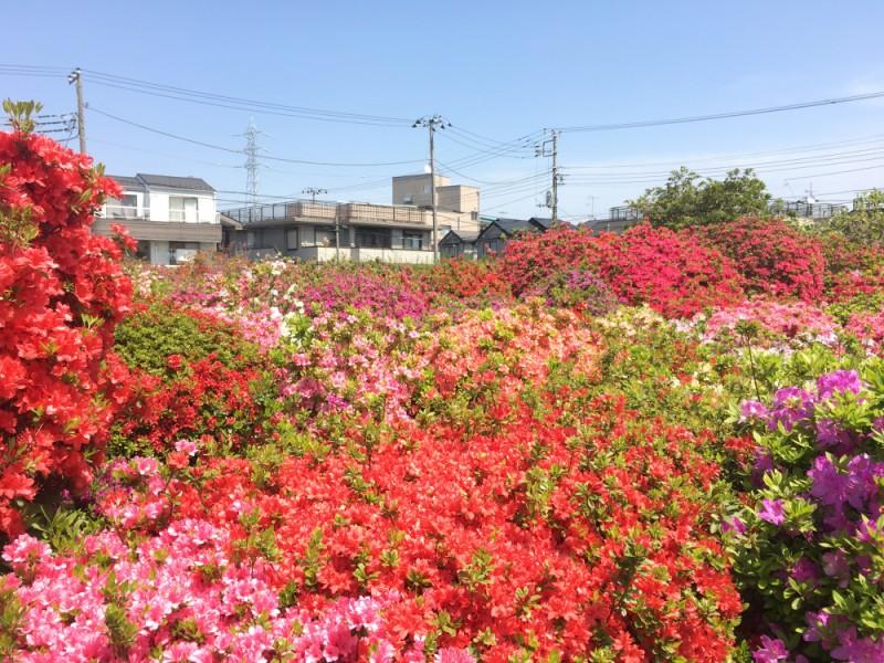 【13:00】「烏山つつじ緑地」と「西沢つつじ園」でつつじを鑑賞