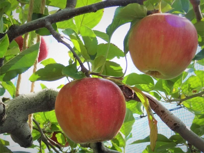 味覚の秋を満喫!りんご狩りと思い切り遊べる自然豊かな公園を楽しむ親子コース