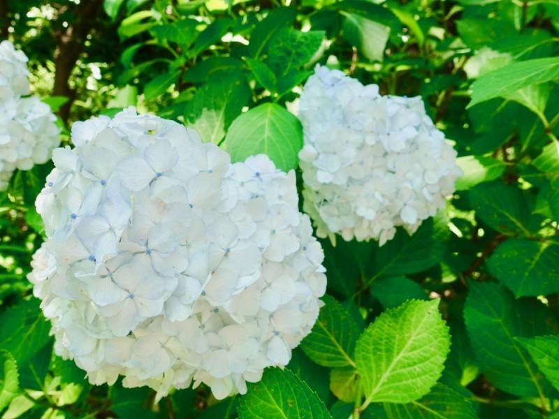 京王百草園であじさいを鑑賞。風情ある京王沿線の初夏を感じるおでかけコース